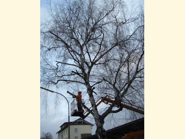 Baumschnitt - Ausgangszustand